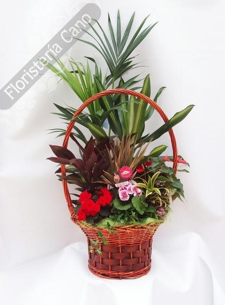 Cesta de plantas de interior con kentia anthurium comprar en florister a online de venta - Plantas de interior online ...